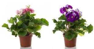 inlagd primula för blommablommor Royaltyfria Foton