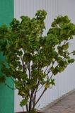 Inlagd växt i Mexico Arkivfoton