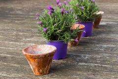 Inlagda lavendelväxter i keramiska blomkrukor på en träterrass fotografering för bildbyråer