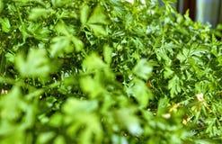 Inlagda persiljaväxter Vintersolen har ett gulaktigt ljus som exponerar platsen arkivfoto
