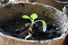 Inlagda plantor som växer i biologiskt nedbrytbar krukor Fotografering för Bildbyråer