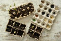 Inlagda plantor som växer i biologiskt nedbrytbar krukor på träbackgro Royaltyfri Fotografi