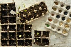 Inlagda plantor som växer i biologiskt nedbrytbar krukor på träbackgro Arkivbild