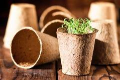 Inlagda plantor som växer i biologiskt nedbrytbar torvmossa Arkivbilder
