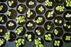 Inlagda plantor som växer i biologiskt nedbrytbar torvmossa Arkivfoto