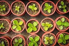 Inlagda plantor som växer i små bruna krukor, ordnar i överkant tävlar Royaltyfri Foto