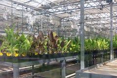 Inlagda växter som växer inom en växthusbarnkammare Arkivbild