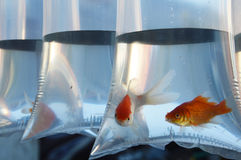 Inlaid fish Royalty Free Stock Photo