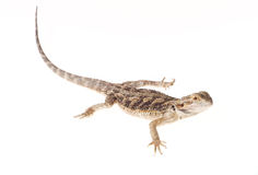 Inland bearded dragon Royalty Free Stock Photo