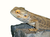 Inland bearded dragon Stock Image