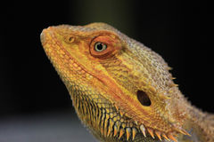 Inland Bearded Dragon Royalty Free Stock Photography