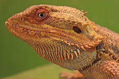 Inland Bearded Dragon. The Inland Bearded Dragon (Pagona vitticeps), is native to Australia, but it has recently become one of the most popular exotic pets in stock photo