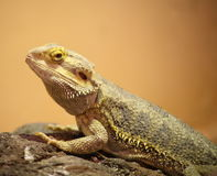 Inland Bearded Dragon. Close up of Inland Bearded Dragon resting on rock Stock Images