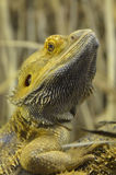 Inland Bearded Dragon Close-up Stock Photography