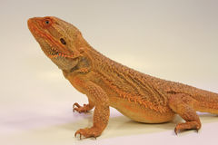Inland Bearded Dragon (Pagona vitticeps) Stock Photo