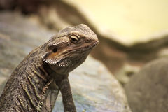 Inland bearded dragon (Pogona vitticeps) sitting on stone Royalty Free Stock Photo