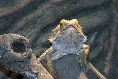 Inland bearded Dragons (Pogona vitticeps) Royalty Free Stock Photography
