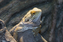 Inland bearded Dragons (Pogona vitticeps) Stock Images