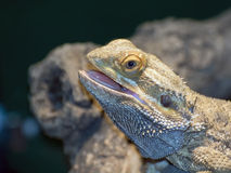 Inland bearded Dragons (Pogona vitticeps) Royalty Free Stock Image
