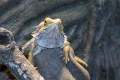 Inland bearded Dragons (Pogona vitticeps) Royalty Free Stock Photography