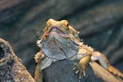 Inland bearded Dragons (Pogona vitticeps) Stock Photos