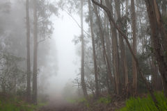 Inland Gran Canaria, fog at the crest of Valleseco, eucalyptus w Royalty Free Stock Photography