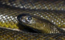 Inland Taipan. The deadliest land snake on earth, the Australian Inland Taipan Stock Photography