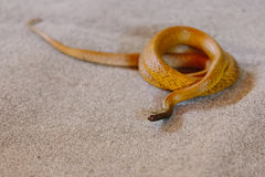 Inland taipan at snake show Royalty Free Stock Photos