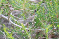 Free Inland Thornbill In Australia Royalty Free Stock Images - 158285149