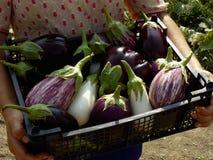Inlandse aubergines Stock Foto