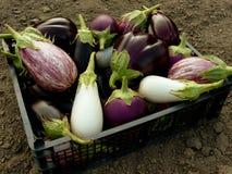 Inlandse aubergines Royalty-vrije Stock Afbeeldingen