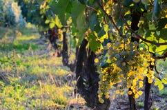 Inlandse bossen van witte druiven met groene bladeren op wijngaard Stock Foto
