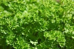 Inlandse Petroselinum crispum of algemeen bekend als peterselie of tuinpeterselie royalty-vrije stock foto
