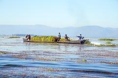 INLE jezioro MYANMAR, LISTOPAD, - 23, 2015: Lokalnych pracowników zbierać Zdjęcia Stock
