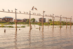 Inle Lake Birds Seagull Stock Images