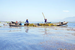 INLE LAKE, MYANMAR - NOVEMBER 23, 2015: Local workers collecting Royalty Free Stock Photos