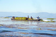 INLE LAKE, MYANMAR - NOVEMBER 23, 2015: Local workers collecting Stock Photos