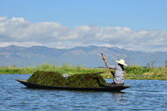 Inle local Myanmar lady collecting green weed on boat. Royalty Free Stock Photos