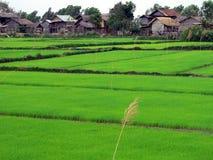 inle terenowym z dokładnością jeziorni ryżu Zdjęcia Royalty Free
