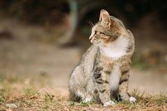 Inländische junge Katze Gray White Mixed Breed Short-Haireds, sitzend Stockbild