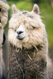 Inländisches Lama, das Hay Farm Livestock Animals Alpaca isst Lizenzfreie Stockfotografie