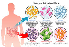 Inälvs- bakterie- flora Royaltyfria Bilder