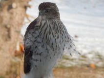 Inmature Coopers Hawk Stock Photography