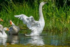 Innaffi il delta del Danubio dell'oca, mentre allungano le loro ali Immagine Stock
