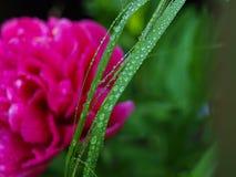 Innaffi le gocce sulla lamierina di erba Fotografia Stock