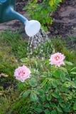 Innaffiatura del cespuglio delle rose da un annaffiatoio Fotografia Stock