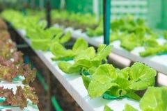 Innaffiatura della verdura idroponica organica nell'azienda agricola di coltivazione Immagine Stock Libera da Diritti