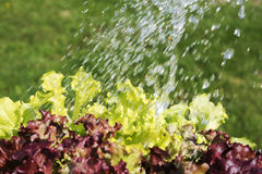 Innaffiatura delle insalate Fotografie Stock
