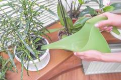 Innaffiatura innaffiata delle piante da appartamento Fotografia Stock