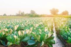 Innaffiatura naturale dei raccolti agricoli, irrigazione Le piantagioni del cavolo si sviluppano nel campo file di verdure Agrico fotografie stock libere da diritti